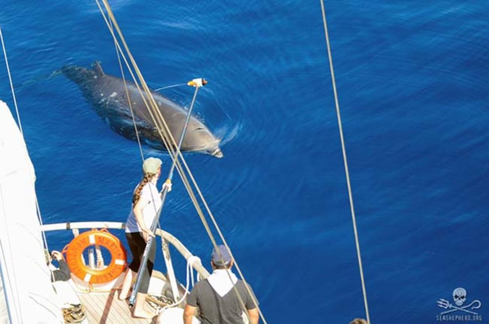 Thumb news 161207 1 1 161021 cac jenny trickey tries to tag a beaked whale credit rodrigo huerta uni 9921 650w